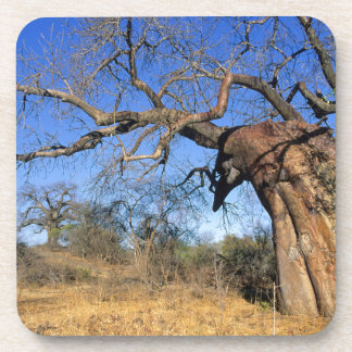 Baobab (Adansonia Digitata), Kruger National Coaster