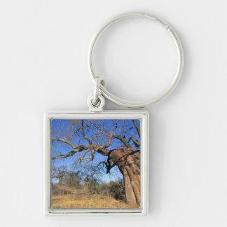 Baobab (Adansonia Digitata), Kruger National Key Ring