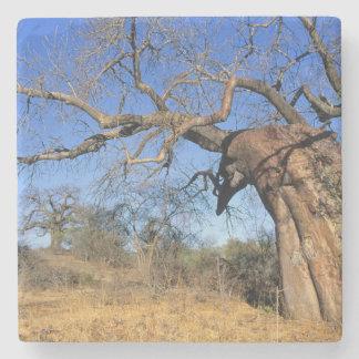 Baobab (Adansonia Digitata), Kruger National Stone Coaster