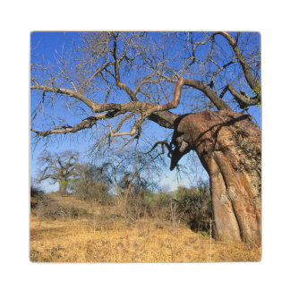 Baobab (Adansonia Digitata), Kruger National Wood Coaster