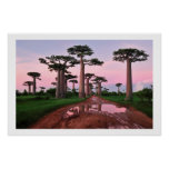baobab forest Africa  poster from 8.99