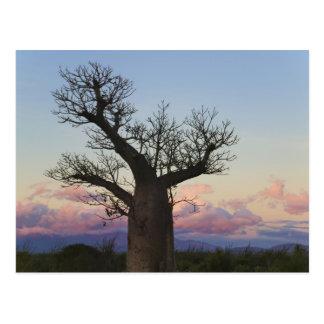 Baobab trees, Berenty, Toliara, Madagascar Postcard
