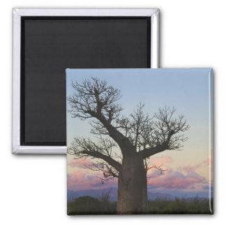 Baobab trees, Berenty, Toliara, Madagascar Square Magnet