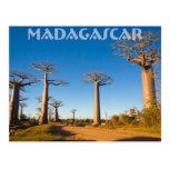 Baobabs de Madagascar Carte Postale
