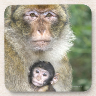 Barbary Macaque . Adulte with babyMacaca Drink Coaster