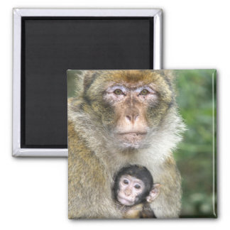 Barbary Macaque . Adulte with babyMacaca Square Magnet