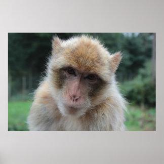 Barbary macaque ape portrait print