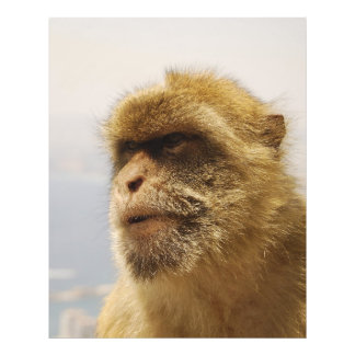 Barbary Macaques in Gibraltar Monkey Face Photograph