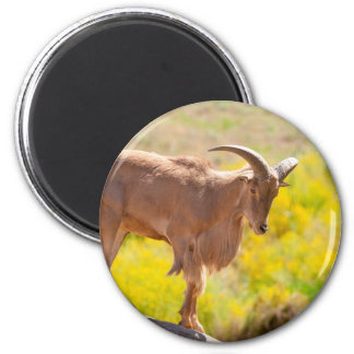 Barbary sheep 6 cm round magnet