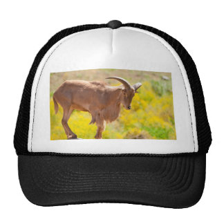 Barbary sheep cap