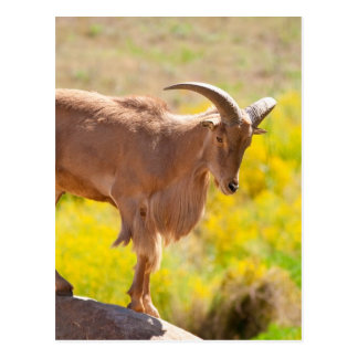 Barbary sheep postcard