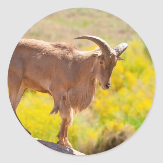 Barbary sheep round sticker