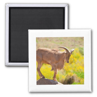 Barbary sheep square magnet