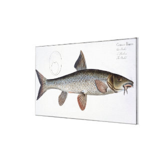 Barbel (Cyprinus Barbus) plate XVIII from 'Ichthyo Canvas Print