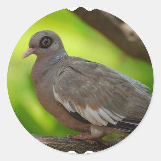 Bare Eyed Pigeon Round Stickers