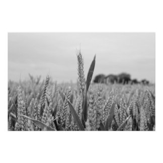 barley crop in grey poster