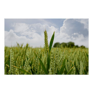 barley crop poster
