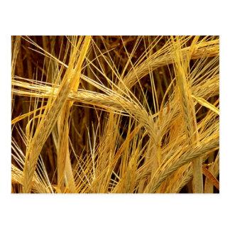 Barley Photograph Postcard