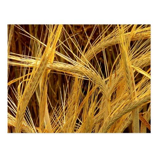 Barley Photograph Post Cards