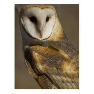 Barn Owl 3 Postcard