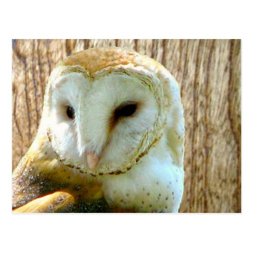 Barn Owl Against Wood Postcards