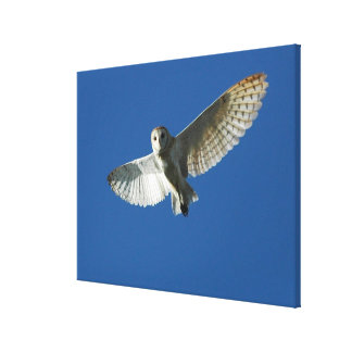 Barn Owl in Daytime Flight Canvas Prints