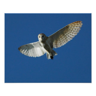 Barn Owl in Daytime Flight Poster