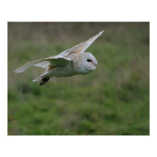 Barn owl in flight print