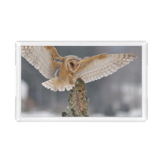 Barn owl landing to spike acrylic tray