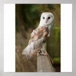 Barn Owl on a fence Print