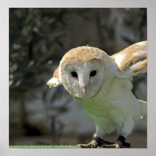 Barn Owl Poster Print