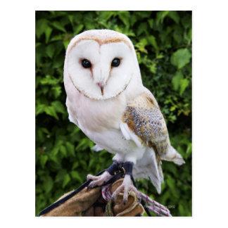 Barn owl (Tyto Alba) on glove Postcard