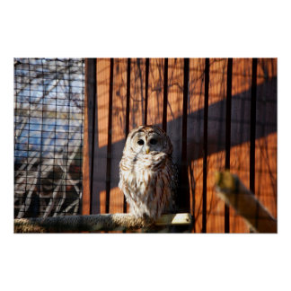 Barred (Hoot) Owl Poster