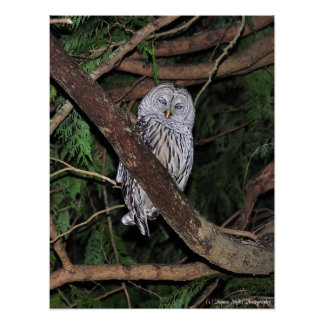 Barred Owl Blinded by the light Print