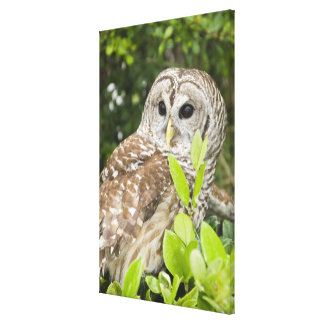 Barred Owl Gallery Wrapped Canvas