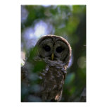 Barred owl, Everglades, Florida Posters