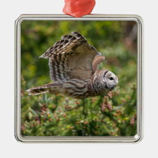 Barred Owl Flying past Silver-Colored Square Decoration