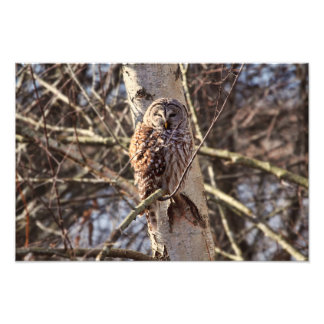 Barred Owl in a Birch Tree Photo