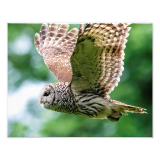 Barred Owl in flight Photo Art