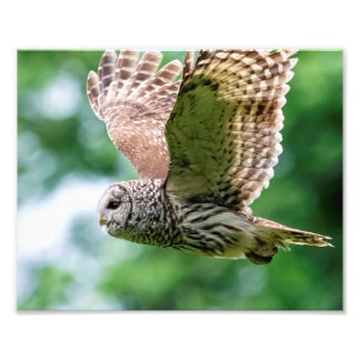 Barred Owl in flight Photo Print