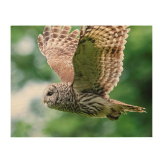 Barred Owl in flight Wood Print