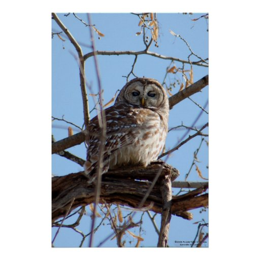 Barred Owl in Tree Poster