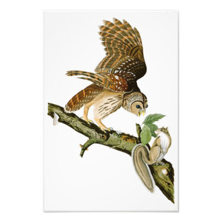 Barred Owl John James Audubon Birds of America Photograph