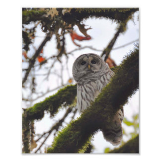 Barred Owl on a Big Leaf Maple Photo
