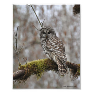 Barred Owl on Big Leaf Maple Photo Print