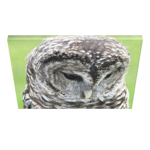 Barred Owl Portrait Gallery Wrap Canvas