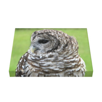 Barred Owl Portrait Stretched Canvas Print