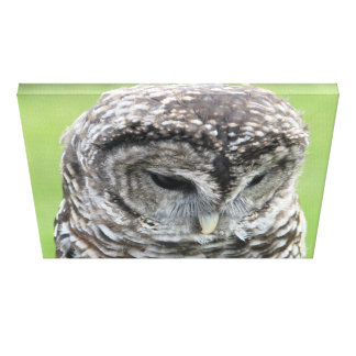 Barred Owl Portrait Gallery Wrapped Canvas