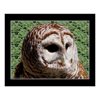 Barred Owl Posters