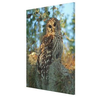 Barred Owl roosting in some Spanish Moss Canvas Print
